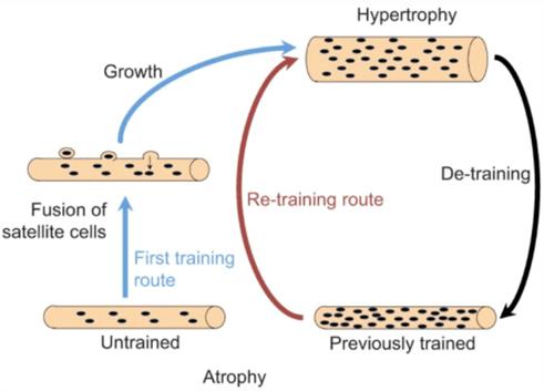 Antallet af myosatellitceller øges med styrketræning og bibevares selvom musklerne bliver mindre.