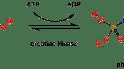 Den fysiologiske virkning af kreatin er ganske velkendt og veldokumenteret. Kreatin monohydrat er et effektivt kosttilskud.